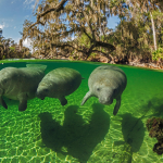 Meet Manatees at Blue Spring State Park