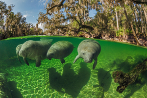 Florida manatees: image of three manatees swimming in the clear waters of Blue Springs State Park.