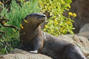 Central Florida Zoo & Botanical Gardens: image of a resident otter