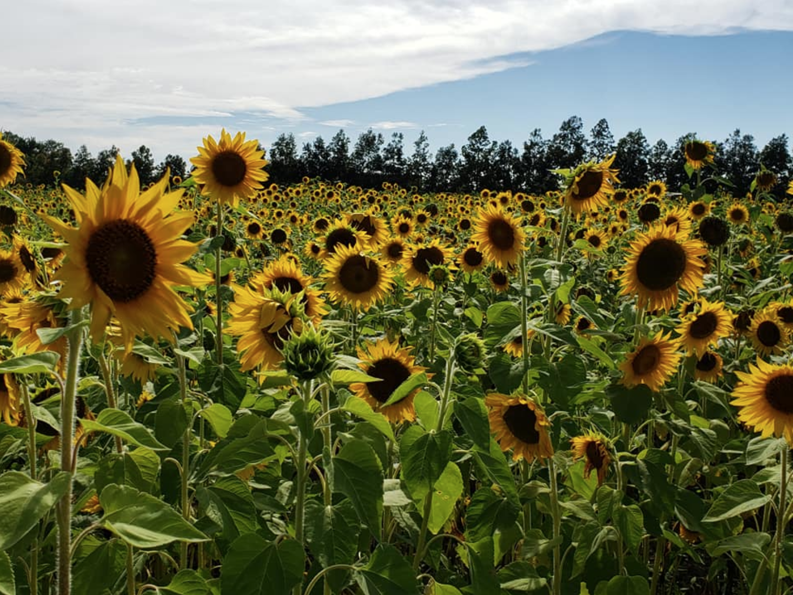 Sunflower fields Orlando: image of Graham Farms sunflower field