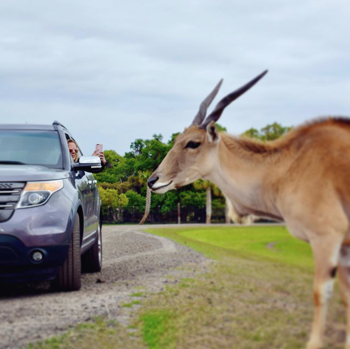 Wild Florida Drive-Thru Safari: image of woman in her car taking a picture of a gazelle on the safari tour